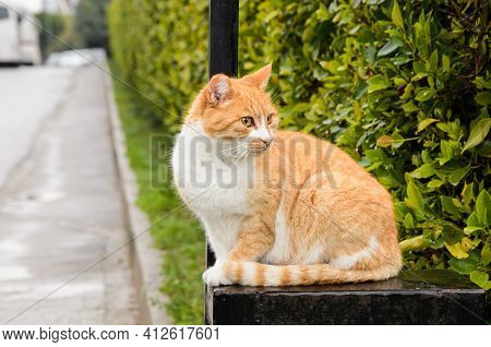 Auburn Wandering Cat Sitting On Gate In Residential Complex, And Looks Away. The Problem Of Stray An