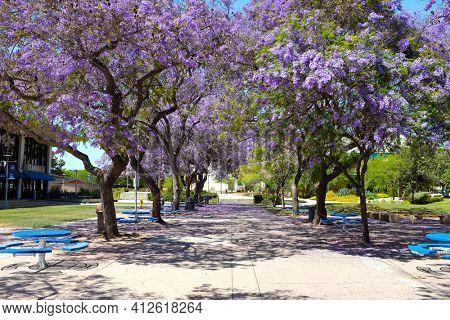 FULLERTON CALIFORNIA - 22 MAY 2020: Jacaranda trees in bloom line a walkway on the campus of California State University Fullerton, CSUF.