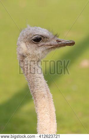 Ostrich head and neck portrait closeup