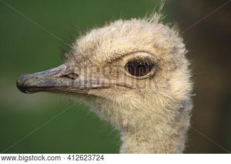 Ostrich head portrait closeup profile view