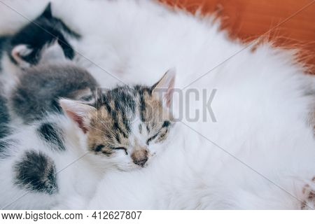 Close Up View Of Mother Cat Nursing Her Kittens. Cute Cats Family. Feline Health And Protection Anim