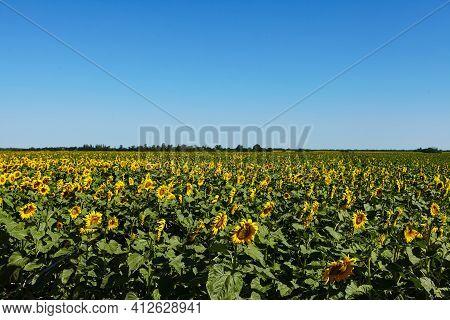 Sunflower Field Nature Scene. Sunflowers. Sunflower Field Landscape. Sunflower Field View