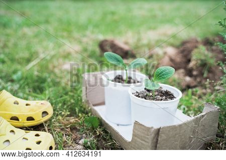 Spring Season Planting Of Seedlings, Small Green Sprouts Of Vegetables, Zucchini In Ground, Soil, La