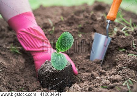 Spring Season Planting Of Seedlings,small Green Sprouts Of Vegetables,zucchini In Ground,soil,land.