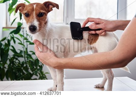 Woman Brushing Dog. Owner Combing Jack Russell Terrier. Pet Care
