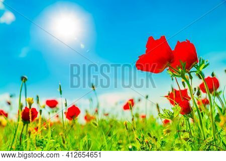 Beautiful blossoming red poppies in sunny day, The Beautiful nature of Israel