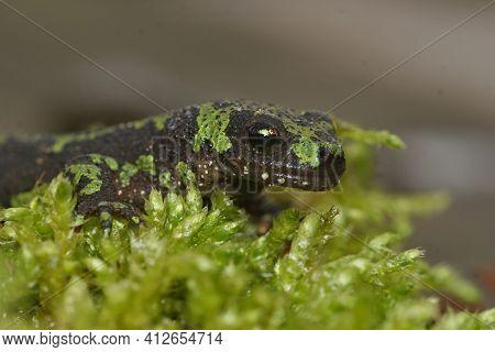 Facial Closeup Of A Terrestrial Juvenile Marbled Newt, Triturus Marmoratus On Green Moss