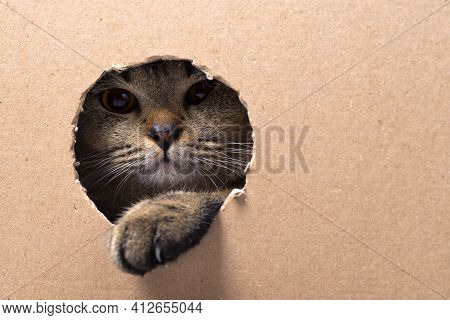 A Brown Scottish Fold Kitten Sits In A Cardboard Box And Looks Through The Hole, The Kitten Pokes It
