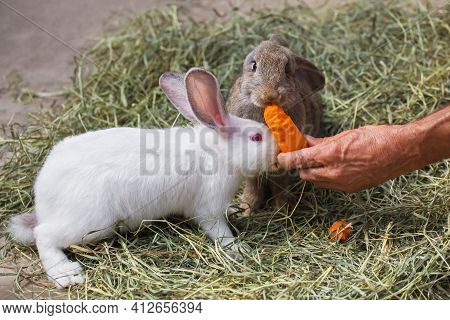 Two Cute Rabbits Sit In The Hay And Eat Carrot. A Man Feeds Domestic Rabbits With Carrots. The Hare
