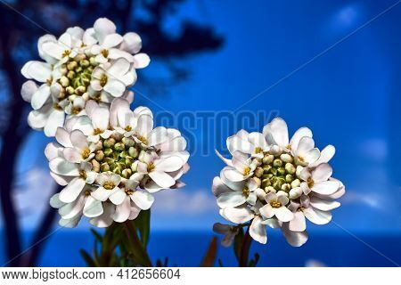 White Flowers Evergreen  Candytuft Flower Blooming In Spring In The Meadow
