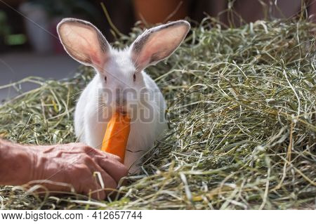 White Cute Rabbit Sit In The Hay And Eat Carrot. A Man Feeds Domestic Rabbit With Carrots. The Hare