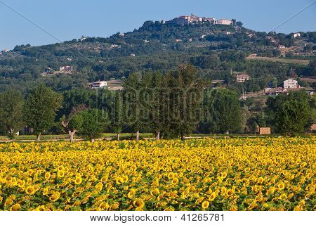 Sunflowers at sunrise, Umbrian Landscapes, Italy