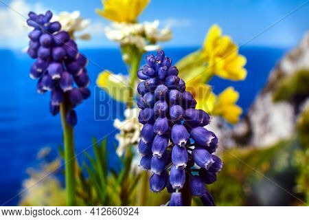Details Of A Beautiful Blue Muscari Flower In The Spring In The Meadow