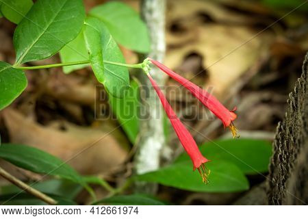 Blooms Of A Native Coral Honeysuckle (lonicera Sempervirens). Raleigh, North Carolina.