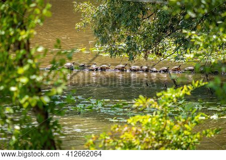 Several Eastern River Cooters (pseudemys Concinna Concinna) Basking In The Sunshine On A Log In The