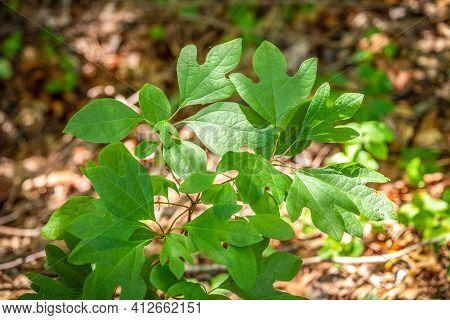 A Sassafras (sassafras Albidum) Sapling In The Woods. Raleigh, North Carolina.