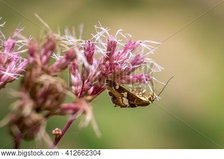 A Hawaiian Beet Webworm Moth (spoladea Recurvalis) Enjoying The Milkweed Blooms. Raleigh, North Caro