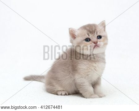 A small British kitten sits on a white blanket.