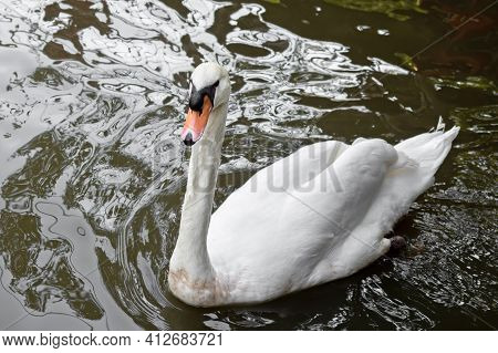 Close Up White Swan Floating In A Pond