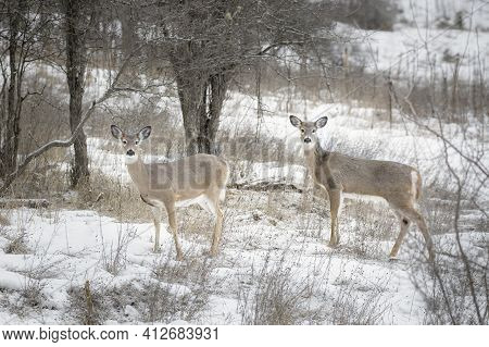 Two Curious And Alert White Tailed Deer Stand In Snowy Field In Ione, Washington.