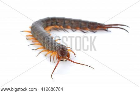A Centipede Isolated On A White Background