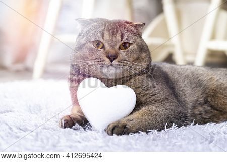 A Brown Scottish Fold Cat With A White Heart Between Its Paws On The Carpet Licks Its Lips With Its