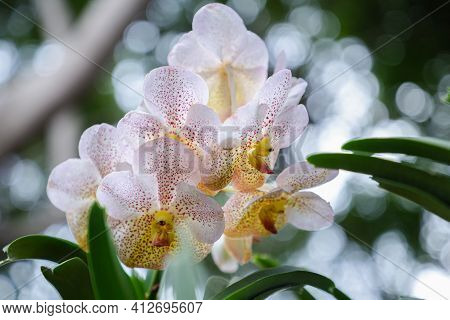 Vanda Orchid Flower. Flower In Garden. Flower At Spring Day. Colorful Flower. Flower Decoration. Flo