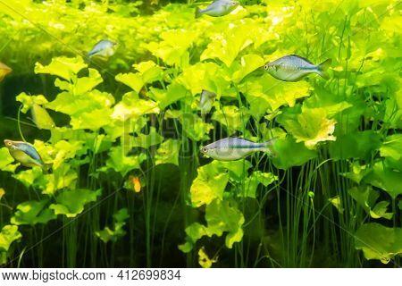 Aquarium River Fish In An Aquarium With Green Algae