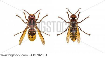 Bottom and high view of a european Hornet, isolated on white