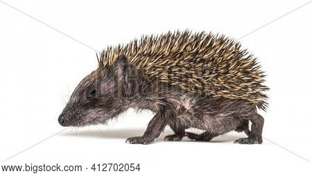 Side view of a Young European hedgehog, isolated on white
