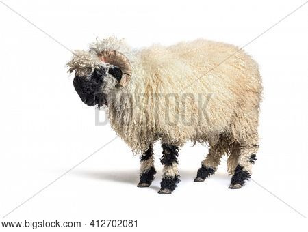 Profile of a Valais Black nose sheep, isolated
