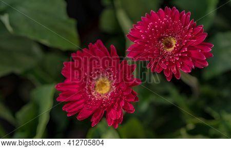 Pink Gerbera Flower With Yellow Pollen On Blur Background Of Green Leaves In Garden. Decorative Gard