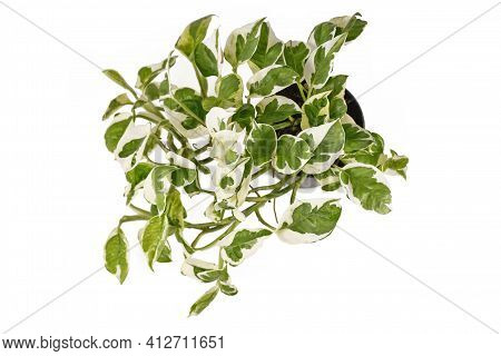 Top View Of Tropical Houseplant With Botanic Name Epipremnum Aureum N'joy With White And Green Varie