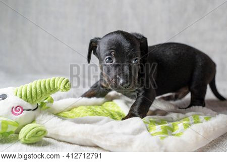 Brown And Black Brindle Jack Russell Terrier Dog Puppy. Curious About A Toy Elephant. Dog Seen From