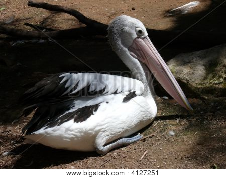 Pelican Sitting On Egg