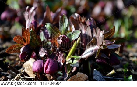 Spring Bed With Bulbs And Hellebore Which Has Just Formed Flower Buds And Will Bloom Soon. The Crocu
