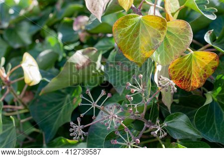 Close-up Of Ivy Leaves And Unripe Poisonous Berries Of A Common Ivy