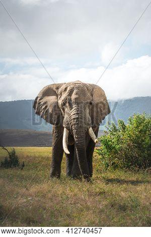 Isolated Large Adult Male Elephant (elephantidae) At Grassland Conservation Area Of Ngorongoro Crate