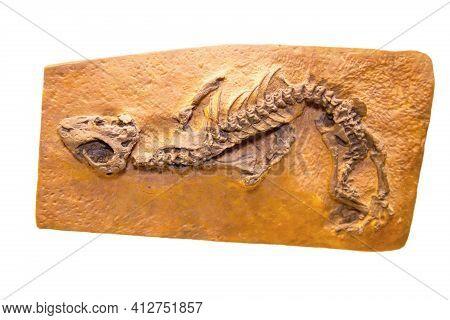 A Cast Of The Skeleton Of A Parareptilia Nyctiphrureta (latin Nyctiphruretus Acudens) Is Isolated On