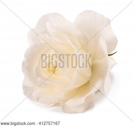 White Rose Flower Isolated On White Background
