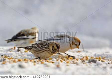 A Lapland Longspur Or Bunting, Calcarius Lapponicus, With Snow Buntings, Plectrophenax Nivalis