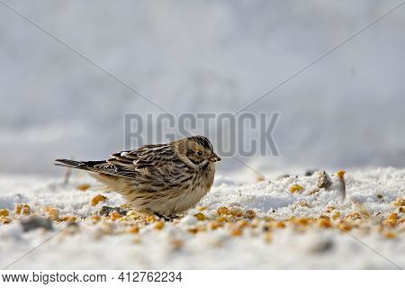 A Lapland Longspur Or Bunting, Calcarius Lapponicus, Feeding In The Snow