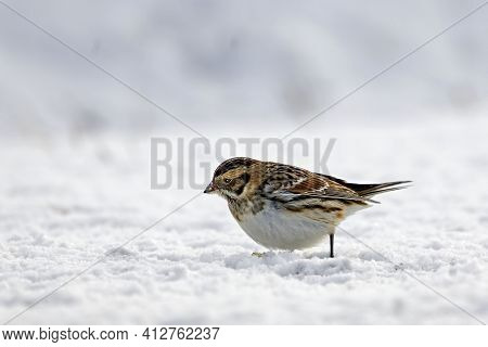 A Lapland Longspur Or Bunting, Calcarius Lapponicus, Foraging In Winter