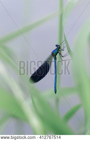 Banded Demoiselle Dragonfly, Calopteryx Splendens, The Blue Dragonfly Sits On A Grass On A Meadow