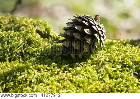 A Pine Cone Lies On A Green Forest Moss. A Pine Cone Lies On A Fluffy Moss In The Forest. Autumn For
