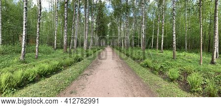 Panoramic Image Of The Straight Path In The Forest Among Birch Trunks In Sunny Weather, Sun Rays Bre