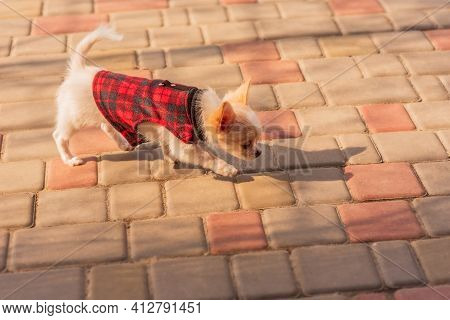 Puppy In The Garden. White Chihuahua Puppy In Clothes. Dog. White Puppy Running On The Sidewalk.