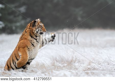 Young Siberian Tiger Playing In The Winter. Amur Tiger Standing On Its Hind With A Pawing Paw