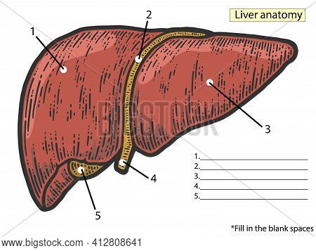 Anatomical Atlas, Structure Of The Liver. Fill In The Blank Spaces. Medical Education