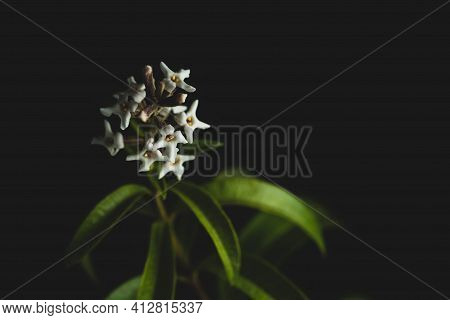 Macro Close Up Portrait Of Aloysia Citrodora Or Lemon Verbena Flower